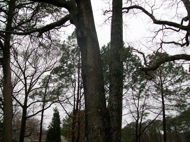 Virginia Beach Tree Removal Picture 18
