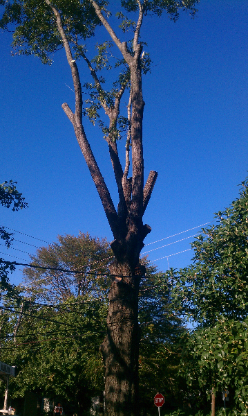 Virginia Beach Tree Removal Picture 1