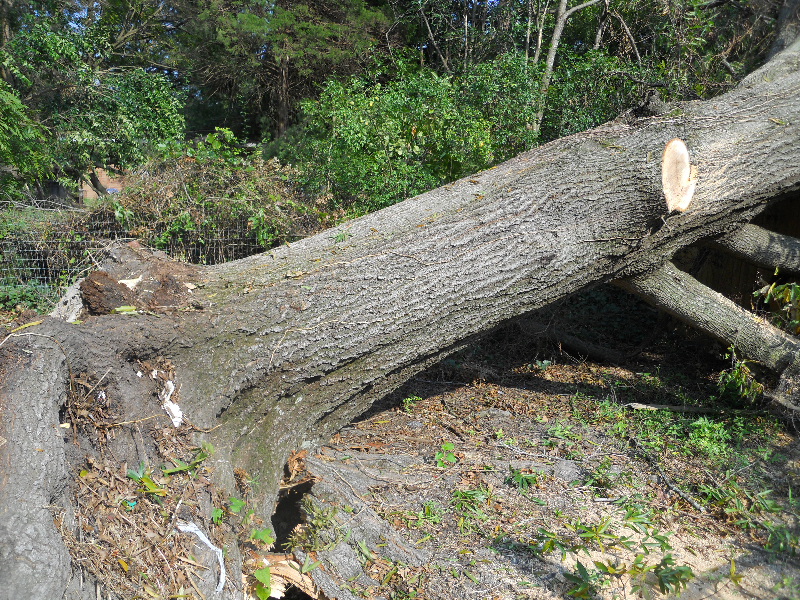 Virginia Beach Tree Removal Picture 33