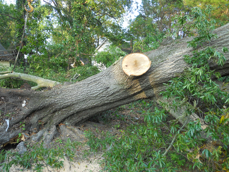 Virginia Beach Tree Removal Picture 43