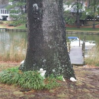 Virginia Beach Tree Removal Picture 13