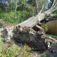 Virginia Beach Tree Removal Picture 3