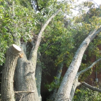 Virginia Beach Tree Removal Picture 35