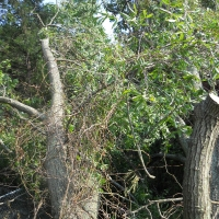 Virginia Beach Tree Removal Picture 36