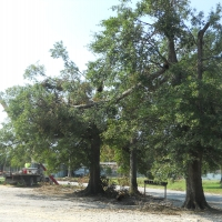 Virginia Beach Tree Removal Picture 65