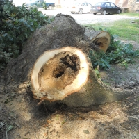 Virginia Beach Tree Removal Picture 69