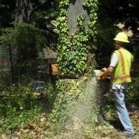 Virginia Beach Tree Removal Picture 97