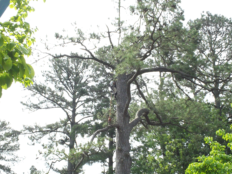 Virginia Beach Tree Removal Picture 86