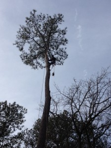 Adrain In the top of a 100' Pine tree