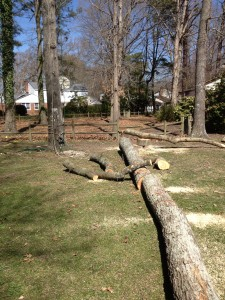 One of the Red Oak Trees that we removed.