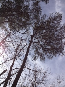 Adrain in the top of a 100' Pine Tree getting started to rope some limbs down