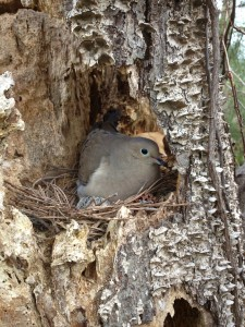We found this guy in the top of a dead gum tree.